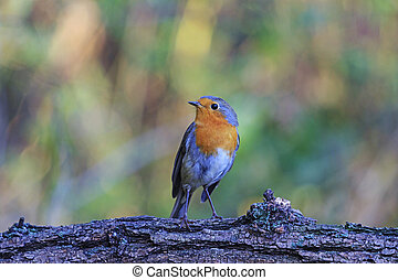 Robin on a branch in autumn background