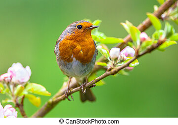 Robin on a branch with white flower buds