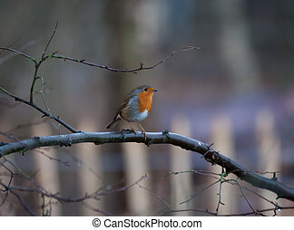 Robin on a tree brach