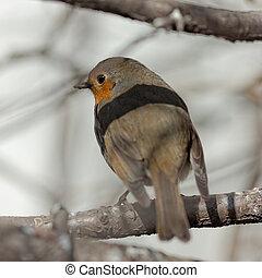robin on a tree closeup
