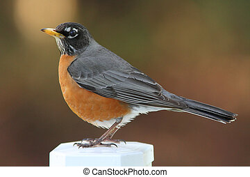 A beautiful American robin standing on a post.
