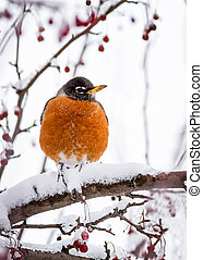 A robin rests upon a crabapple tree branch covered in snow.