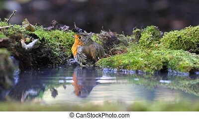 robin persistently bathed in a pool covered with moss