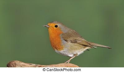 Robin. - Robin, erithacus rubecula on green background.