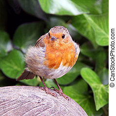 Robin Red Breast bird - European Robin red breast bird ...