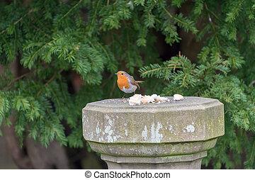 Robin Redbreast bird eating bread