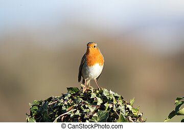 Robin, redbreast, Erithacus rubecula, sat on post covered in...