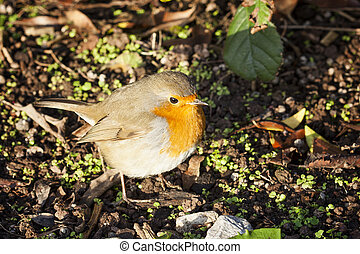 Robin redbreast ( Erithacus rubecula) song bird on the ground