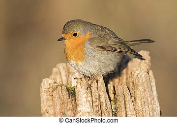 Robin redbreast (Erithacus rubicula) - A robin redbreast is...