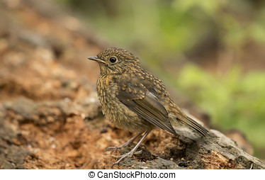 Robin redbreast, juvenile, Erithacus rubecula, perched on a tree trunk