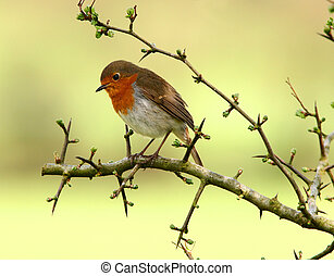 Robin sitting on the branch of a hawthorn tree in springtime. (Species erithacus, rubecula)