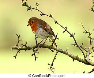 Robin Redbreast - Robin sitting on the branch of a hawthorn...