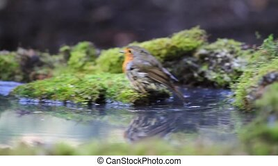 Robin rides smoothly on green moss and forest bathing in a...