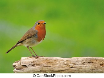 Robin. - Robin, Erithacus rubecula.