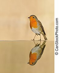 Robin reflected in the pond on brown background.