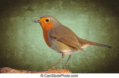 Robin. - Robin,Erithacus rubecula on a green background.