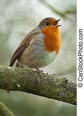 robin singing in winter