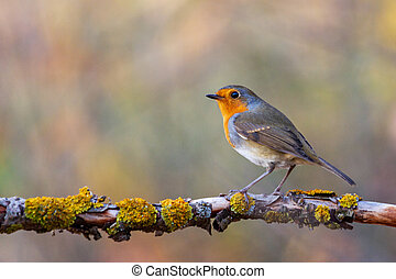 robin sits on a branch in the autumn forest