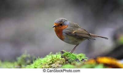 robin sits on a green moss and jumps out of focus