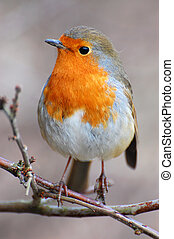 robin sits on winter perch - robin at christmas perched in...
