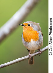 Robin Sitting On a Twig very detailed portrait