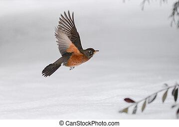 Robin Snowy Flight