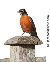 Robin Standing on a Fence Post