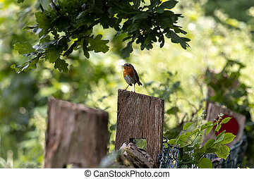 Robin standing on a wooden fence post