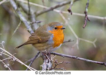 Robin (Erithacus rubecula) perched in a shrub