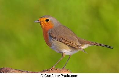 Robin. - Erithacus rubecula.