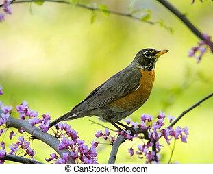 Robin - American robin sitting on a tree.