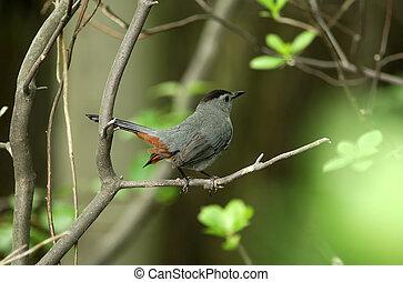 Robin - Pirched Robin