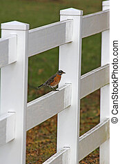 Young robin perched on a white fence with green and brown background