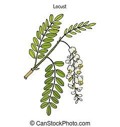Robinia pseudoacacia, or black locust, false acacia. Hand...