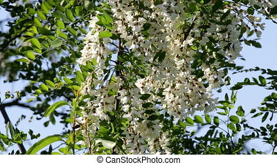 Robinia pseudoacacia.