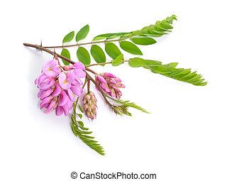robinia, viscosa, 일반적으로, 알려진, 에서, 그것의, 원주민, 영토, 가령...와 같은,...