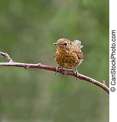 Robin,juvenile,Erithacus rubecul