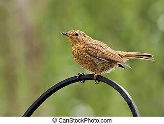 Robin,juvenile,Erithacus rubecula