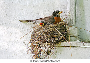 Robin's Nest - A mother red-breasted Robin (Turdus...