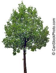 roble, recorte, árbol