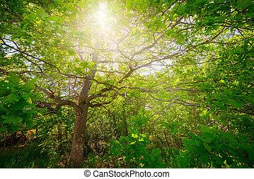 roble, thru, árbol, follaje, luz del sol