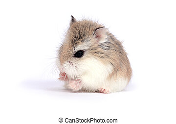 Dwarf Roborovski (Phodopus Roborovskii) hamster isolated on white background