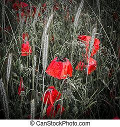 rocío cubrió, profundo rojo, amapolas, en, un, campo
