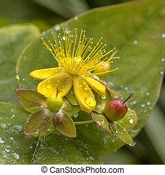 rocío, hypericum, flor, amarillo