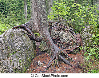 roca, dolomite, árbol, pegado, raíces