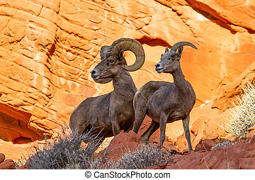rocha, chifre, sheep, deserto, vermelho, grande