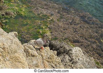 single bird on rock by the sea - Rock dove, single bird on ...