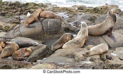 rock., eared, la, lions, protégé, marin, animals., cachets, diego, rocher, rigolote, pacifique, mammifères, ramper, usa, naturel, mer, habitat, espiègle, océan, somnolent, vie sauvage, californie, jolla., san, sauvage