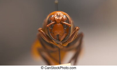 Steady, extreme close up, sudden rack focus on a red paper wasp's face.