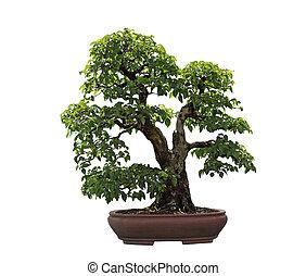 Rock Hornbeam Bonsai Tree - Carpinus turczaninowii...